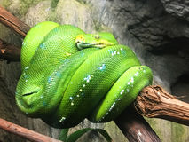 The green tree python Morelia viridis. Is a species of python native to New Guinea, islands in Indonesia, and Cape York Peninsula in Australia Royalty Free Stock Photos