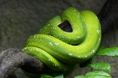 Green Tree Python Coiled Up On Branch. Green tree python Morelia viridis with water droplets coiled up on a branch, regions:  New Guinea, Indonesia, Cape York stock photos