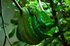 Green tree python (Morelia viridis). Stock Photos