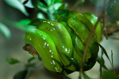 Green tree python (Morelia viridis). Stock Image