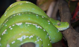 Green Tree Python Royalty Free Stock Photo