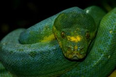 Green tree python resting on tree Stock Images