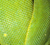 Green tree python skin Royalty Free Stock Image