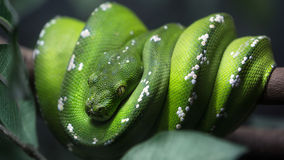 Green tree python snake on a branch Stock Photos