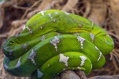 Green tree python snake Royalty Free Stock Images