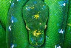 Green tree python, snake, reptile, reptiles closeup. Green tree python snake sleeping stock photo