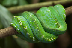 Green tree python (Morelia viridis). Stock Images