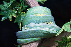 Green Tree Python in the Zoo Royalty Free Stock Image