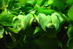 Green tree pythons stock photo