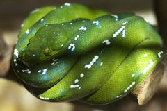 Green Tree Pythons - Morelia Viridis. Green Tree Pythons Morelia Viridis, endemic animals from Eastern Indonesia Aru Islands Irian Jaya to Papua New Guinea Royalty Free Stock Photo