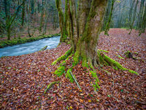 Green tree root Autumn. Flowing water fast running river nature natural environment long exposure Stock Photos