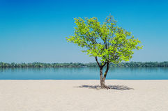 Green tree in the sand on a sky background Royalty Free Stock Photos