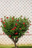 Green Tree in the shape of a heart. Shorn bush with red flowers in the shape of a heart in the street. Heart shape tree. Love and nature concept stock image