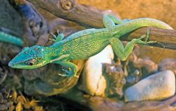 Green tree skink 1 Stock Photos