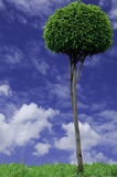 Green tree. Tree with a sky background Stock Images