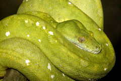 Green Tree Snake. A green tree python, Morelia viridis, coiled on a branch. These snakes are found in Indonesia, New Guinea and northern Australia. Bali Stock Photo