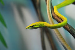 Green tree snake. In Moscow zoo Stock Photos