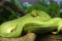 Green tree snake. With blurred background Stock Photos