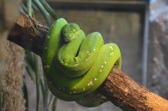 Green tree snake. Captive. stock photography