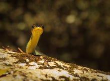 Green Tree Snake, Dendrelaphis punctulatus Royalty Free Stock Image