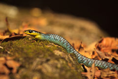 Green tree snake dislaying colorful rainbow scales Royalty Free Stock Images