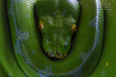 Green Tree Snake. Scary Green Tree Snake Searching for Meal Royalty Free Stock Photography