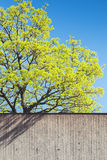 Green tree in spring behind concrete wall Stock Image