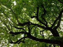 Green tree. Green spring leaves on the tree Royalty Free Stock Images