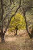 A green tree standing out between the overgrown olive trees at Corfu Greece. Royalty Free Stock Photos