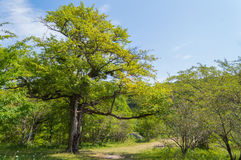 Green tree stands near trails Royalty Free Stock Photography