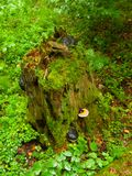 Green tree stump with mushrooms Royalty Free Stock Photo
