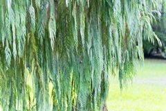 Green tree in summer. Green tree in botanic garden in Sochi royalty free stock photo