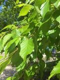 Green tree in summer. Green tree sheet Stock Photography