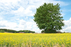 Green tree in summer yellow meadow. Scandinavian summer. Green tree in vibrant yellow meadow Royalty Free Stock Image
