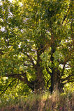 Green tree in sunlight. A large oak tree with green leaves in sunlight Stock Image