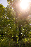 Green tree in sunlight. Green tree oak kantrovich the sun in the summer Stock Image