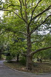 Green tree sycamore (Acer pseudoplatanus) in the park with fresh forest and path Royalty Free Stock Images
