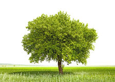 Green tree - symbol of a Green Planet Earth Stock Photography