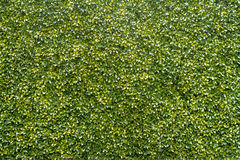 Green tree texture background. Green tree background in garden Stock Photography