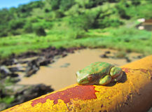 Green tree toad sleeps on rusty tube Stock Images