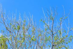 Green tree top line over blue sky background. In summer Royalty Free Stock Images