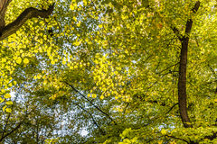 Green tree tops, looking up. In Berlin, Germnay Royalty Free Stock Photography