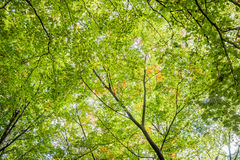 Green tree tops, looking up. In Berlin, Germnay Stock Photos