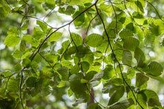 Green tree tops, looking up. In Berlin, Germnay Royalty Free Stock Photo