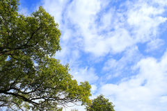 Green tree under blue sky and white cloud. Blue sky, white clouds and big green trees Royalty Free Stock Photos