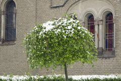 Green tree under the snow. Close up in  the sunshine at my home Stock Image
