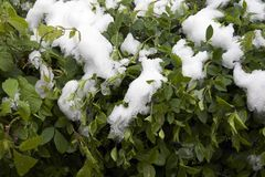 Green tree under the snow. Close up in  the sunshine at my home Royalty Free Stock Photos