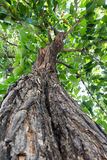 Green tree. Under towering tree in forest Royalty Free Stock Photo