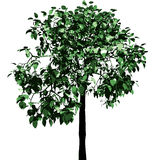 Green tree. Vector. Royalty Free Stock Images