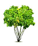 Green tree. Vector Royalty Free Stock Images